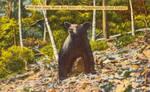 Vintage Pennsylvania - Canyon Bear by Yesterdays-Paper