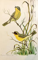 Yellowthroats by Yesterdays-Paper