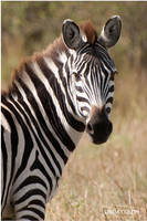 Amboseli Zebra by KonikPolski
