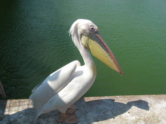 Pelican I by GeshemStock