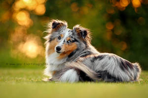 Shetland Sheepdog Amy by Partridge-PetPics