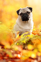 pug in the autumn forest by Partridge-PetPics
