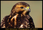 Hawk 2 by KSPhotographic