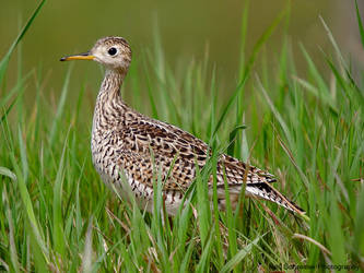 Upland Sandpiper by KSPhotographic