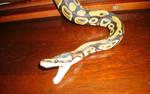 Snake by larkawolfstock