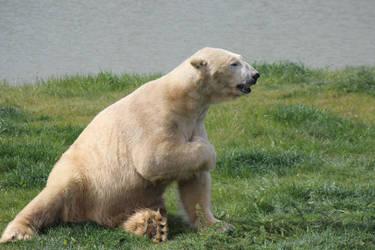 Polar Bear 1 by petra128