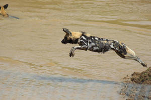 African Wild Dogs 5 by petra128