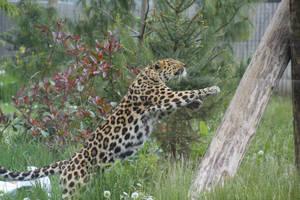 Amur Leopard 13 by petra128