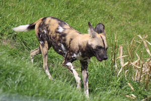 African Wild Dog 10 by petra128
