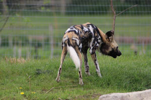 African Wild Dog 11 by petra128