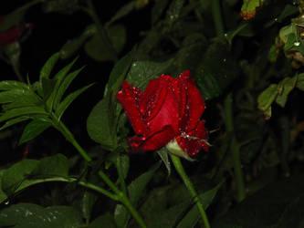 Rose Red. by sammcj2000