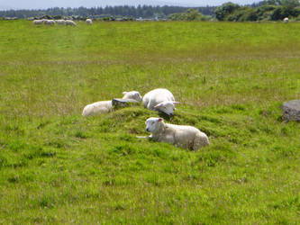 Happy Irish Sheep by Snowlion90