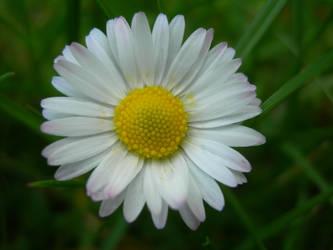 Pretty Daisy 1 by kuschelirmel-stock