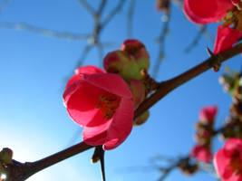 Spring Flower 01 by kuschelirmel-stock