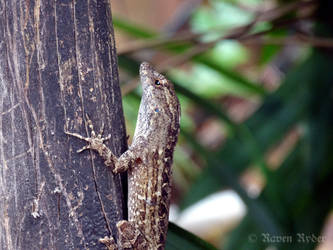 Florida Lizard on a fence. by foreshadow10