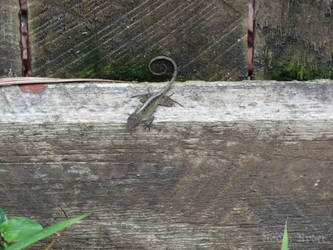 Florida Lizard on the bottom of a fence. by foreshadow10