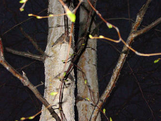 Birch tree in my yard by Catronos