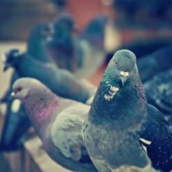 Pigeons II by jonniedee
