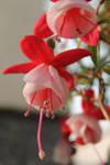 Fuchsia by RezaCerna