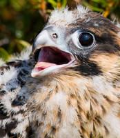 Falcon broiler by Orzel