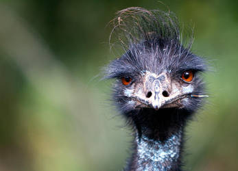 Unimpressed emu by Orzel
