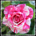 Stripped Rose Framed 2 by KCarey