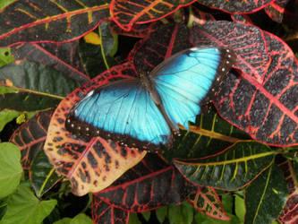Blue Butterfly by Silverfrost128