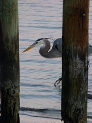 BlueHeron06 by ecfield
