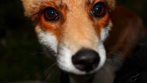 Fox cub by stefeli-reloaded