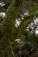 Mossy tree 1 by Ciuva