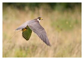 Peregrine Falcon in Flight by Neutron2K
