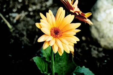 Flower 1 by SuperCookiez