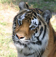 Tiger 2 by crypticFallon