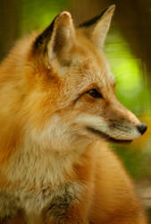 Red Fox by Jeckina