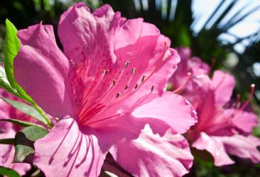 Pink Azalea by Jeckina