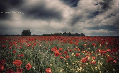 Poppy field by Piroshki-Photography