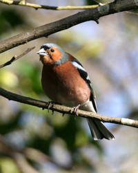 suprised chaffinch by chillipope