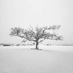 Appledore Oak by SevenHeptagons