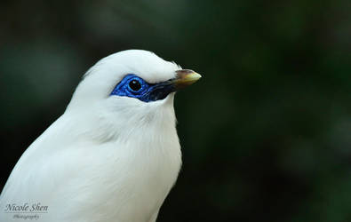 Blue Bali Myna by nicoleshen