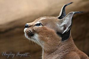 Caracal Stance by photographygrl