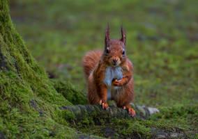 Red Squirrel 3 by KlikitiKlik