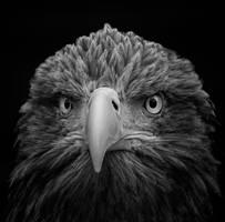 White-tailed Sea Eagle by KlikitiKlik