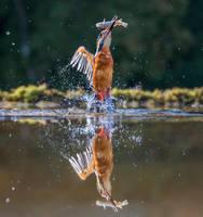 Kingfisher 2 by KlikitiKlik