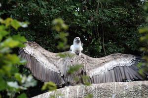 Griffon Vulture Posing around by Pattarchus