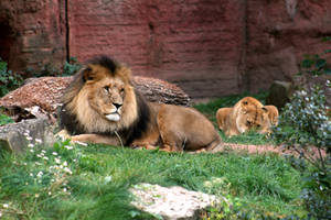 Lions laying around by Pattarchus