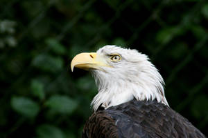 Seeadler Bald Eagle Close by Pattarchus