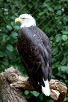 Seeadler - Bald Eagle by Pattarchus