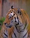 Tiger October 2008 '1' by Pattarchus