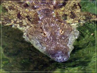 Nile crocodile - Head by Pattarchus