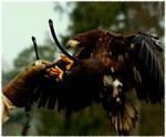 Harris Hawk by Pattarchus